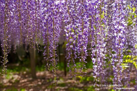 Wisteria the flower clusters captivating