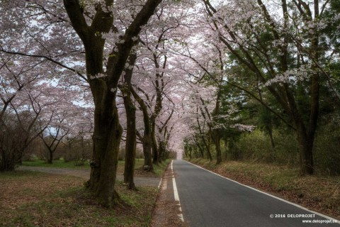 Movie of Sakura Under the cherry blossoms tunnel