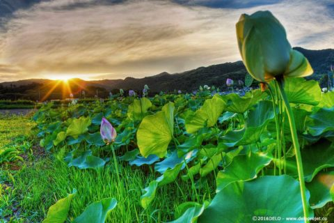 Lotus flower and landscape in Japan photography