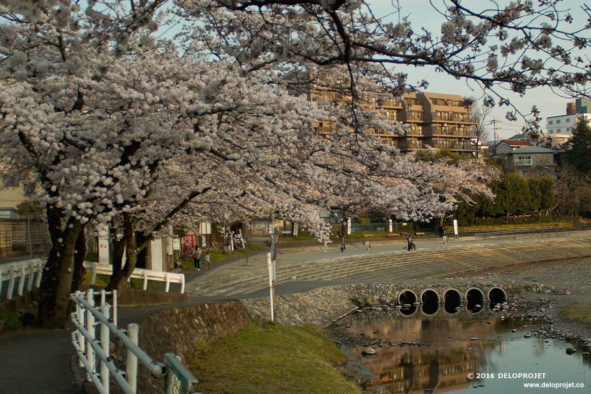 Cherry blossoms Sakura movie away from spots