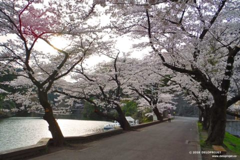 Movie of Cherry blossoms at the Lake Kamakita