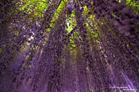Wisteria Fuji a plant that grows all over Japan