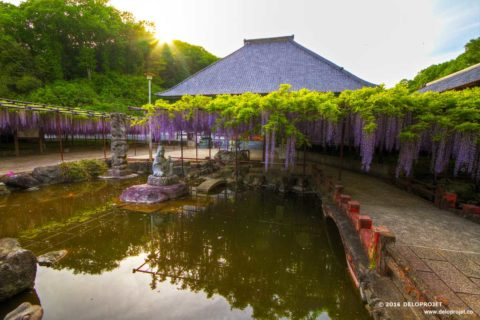 Wisteria Fuji a famous spring flower in Japan
